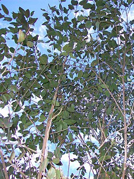 Privet-leaved Stringybark Batemans Bay.jpg