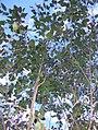 Privet-leaved Stringybark Batemans Bay.jpg