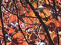 PrunusPisardi ULB2.jpg