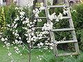 Prunus spinosa0.jpg
