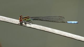 <i>Pseudagrion newtoni</i> species of insect