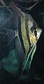 Pterophyllum scalare (freshwater angelfish) 2 (15534365720).jpg