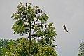 Pteropus Vampyrus trees.jpg