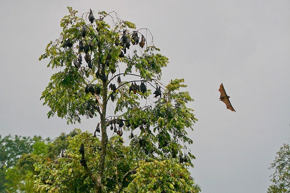 Pteropus Vampyrus trees