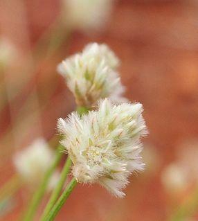 <i>Ptilotus schwartzii</i> Species of grass-like plant