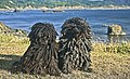 Puli duo on the Oregon Coast.jpg