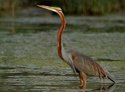 Purple Heron (Ardea purpurea) in Hodal W IMG 6579.jpg