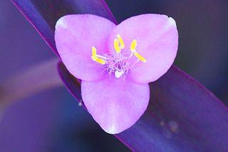 <i>Tradescantia pallida</i> species of plant