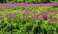 Purple loosestrife, Concord, Massachusetts.jpg