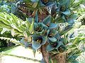 Puya berteroana flowers 6.jpg
