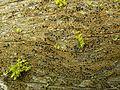 Pycnora xanthococca - Flickr - pellaea (2).jpg