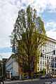 Pyramideneiche Ernst-Haeckel-Platz Jena 2015.jpg