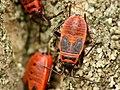 Pyrrhocoris apterus - fire bug - Feuerwanze 01.jpg