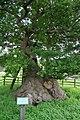 Queen Adelaide's Oak, Bradgate - geograph.org.uk - 494092.jpg