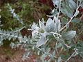 Queensland silver wattle (3124187001).jpg