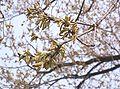 Quercus acutissima10.jpg