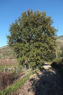 <i>Quercus</i> × <i>crenata</i> Species of plant