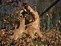 Quercus garryana 9883.JPG