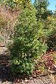 Quercus salicina - Quarryhill Botanical Garden - DSC03408.JPG