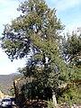 Quercus suber 2009December20 Habitus SierraMadrona.jpg