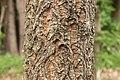 Quercus variabilis 01.jpg