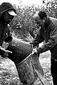 Raccolta delle olive tradizione Siciliana.jpg