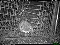 Raccoon at the One-Way Gate (11425652674).jpg