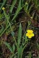 RanunculusFlammula.jpg