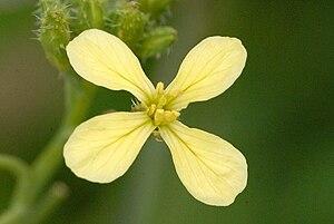 Raphanus raphanistrum - Yellow form flower of Wild Radish