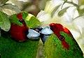 Red-crowned parakeet (Cyanoramphus novaezelandiae) (9669529904).jpg
