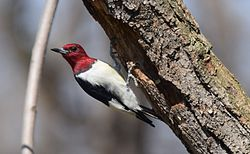 Red-headed Woodpecker (26345370886).jpg