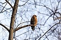 Red-shouldered hawk (20079513948).jpg
