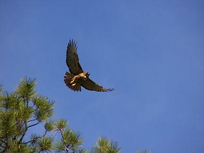 Red-tailed hawk in flight, calling.JPG