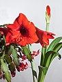 Red Amaryllis 2012 (6923928159).jpg