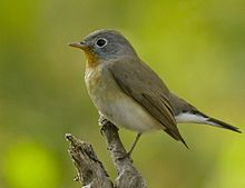 https://upload.wikimedia.org/wikipedia/commons/thumb/0/06/Red_Breasted_Flycatcher_Winters_in_Gujarat.jpg/220px-Red_Breasted_Flycatcher_Winters_in_Gujarat.jpg