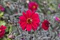 Red Dahlia (15368148505).jpg