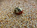 Red Hermit Crab in Red Island.jpg