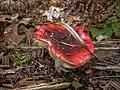 Red Mushroom with Cap Debris PLT-FG-9.jpg