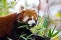 Red Panda (37661801505).jpg