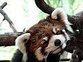 Red Panda @ Ueno Zoo (9409841324).jpg