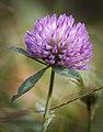 Red clover (50550737832).jpg