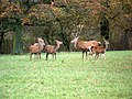 Red deer, Lambourn Woodlands - geograph.org.uk - 1652130.jpg