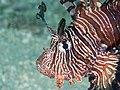 Red lionfish (Pterois volitans) (44878672394).jpg