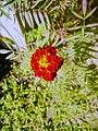 Red merigold.jpg