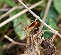 Reduviidae (48652036521).jpg