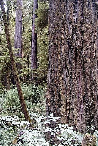 Redwood National and State Parks - Sequoia sempervirens
