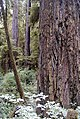 Redwood oldgrowth.jpg