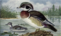 Reed-wood-duck.png