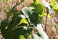 Reynoutria sachalinensis Renouée de sakhaline.jpg
