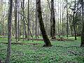 Rezerwat ścisły w Puszczy Białowieskiej 5 (Nemo5576).jpg